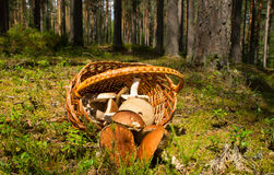 Basket with mushrooms on the forest background Stock Photos