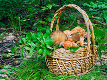 The basket of mushrooms in the forest in sunny day Royalty Free Stock Photos