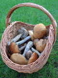 Basket with mushrooms (Fungi) Royalty Free Stock Images
