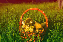 Basket with mushrooms on a green grass in spring. Basket with mushrooms on a green grass Stock Photo