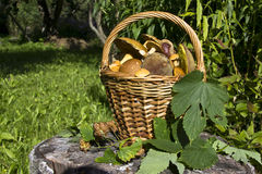 The basket of mushrooms Royalty Free Stock Images