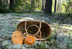 Basket with mushrooms in pine forest. Basket with mushrooms in a sunny autumn pine forest and two big orange-cap boletus stock photo