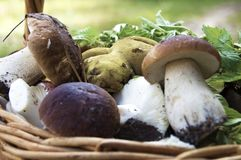 Basket of mushrooms in the vicinity stock photos