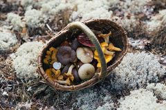 Basket with mushrooms on a white moss. For any purpose Stock Photo