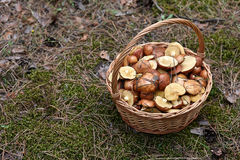 Basket with mushrooms. Wicker basket with mushrooms in the forest Royalty Free Stock Photos