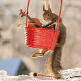 Basket with music. Close up of red squirrel climbing in  a basket with music instruments Royalty Free Stock Photo