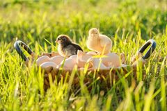 Basket with natural fresh organic eggs with two little newborn baby chickens, grass nature background. Golden hour, country rustic style stock image