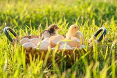 Basket with natural fresh organic eggs with two little newborn baby chickens, grass nature background. Golden hour, country rustic style stock photography