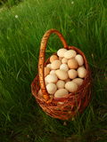 Basket Of Chicken Eggs Royalty Free Stock Photography