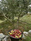 Basket, olives and tree. Bowl full of freshly picked olives of various colors, (green - purple) olive tree and hose for watering in field. (Croatia-Dalmatia royalty free stock photography