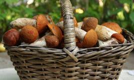 Basket with orange-cap boletus Royalty Free Stock Photo