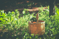 Basket with oranges on green grass in sunshine. retro faded style image Royalty Free Stock Photos