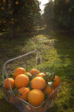 Basket of Oranges in Grove Stock Photos