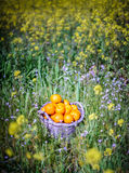 Basket of oranges in yellow flowers. An old basket filled with oranges in field of yellow flowers in cyprus Stock Photo