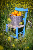Basket of oranges in yellow flowers 4. An old basket filled with oranges on an old blue chair in field of yellow flowers in cyprus Royalty Free Stock Photo