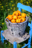 Basket of oranges in yellow flowers 6. An old basket filled with oranges on an old blue chair in field of yellow flowers in cyprus Stock Photography