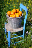 Basket of oranges in yellow flowers 7. An old basket filled with oranges on an old blue chair in field of yellow flowers in cyprus Stock Images