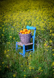 Basket of oranges in yellow flowers 9. An old basket filled with oranges on an old blue chair in field of yellow flowers in cyprus Stock Image