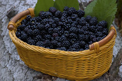 Basket with  organic bio  blackberry. And green leafs Stock Image