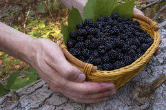 Basket with  organic bio  blackberry. And green leafs Stock Photo