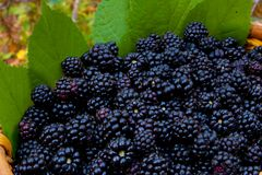 Basket with  organic bio  blackberry. Basket with  organic   blackberry and green leafs Stock Images