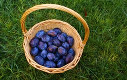 Basket with organic  plums Royalty Free Stock Photography