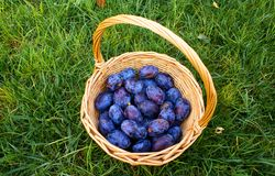 Basket with organic  plums Stock Image