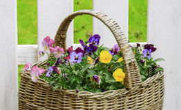 Basket with pansies. Basket with colorful pansies and a white fence as a background Royalty Free Stock Photo
