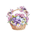 Basket of pansies. Hand draw watercolor illustration. Stock Image