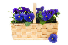 Basket Pansy flowers Royalty Free Stock Photos