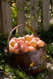 Basket of Peaches on the Ground - clipping Stock Photography