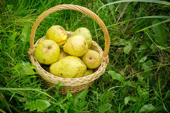 Basket of Pears on Grass. Wicker basket full of ripe yellow pears on green grass Royalty Free Stock Photo
