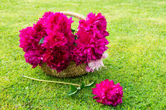 Basket with peonies Royalty Free Stock Photos
