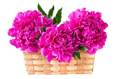 Basket of peonies, isolated on white Royalty Free Stock Image