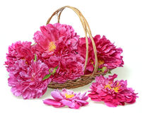 A basket with peony Stock Photography