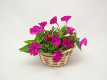 Basket with phlox. Wattled basket with a bouquet of phlox Royalty Free Stock Photo