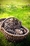 Basket of pine cones Stock Photos