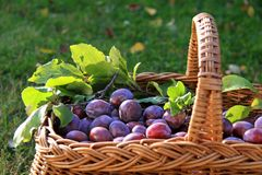 Basket of Plums Royalty Free Stock Images