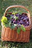 Basket of Plums Stock Images