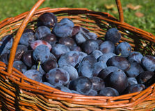 Basket with plums Stock Image