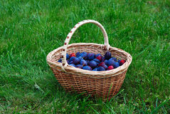 Basket with plums Stock Photo