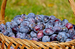 Basket of plums. Basket full of fresh plums royalty free stock photos