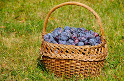 Basket of plums. Basket full of plums on green grass stock photography