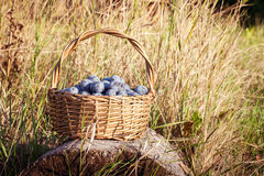 Basket of plums Royalty Free Stock Photography