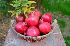 Basket with pomegranates in autumn garden Stock Photos