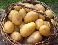 Basket with potatoes. Brown basket full of fresh golden potatoes stock photos