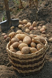 Basket of potatoes. Royalty Free Stock Images