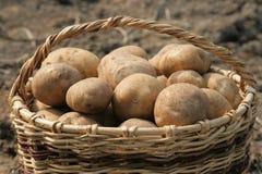 A basket of potatoes. A basket full of potatoes.Closeup Royalty Free Stock Photo