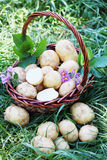 Basket with potatoes on the grass Royalty Free Stock Photography