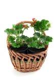 Basket with potted geranium. cranes bills. Royalty Free Stock Photos